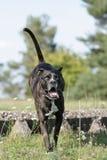 Perro de salto del corso del bastón Imagen de archivo