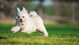 Perro de salto feliz Imagen de archivo