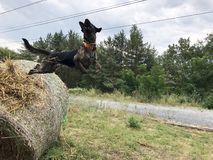 Perro de salto fotos de archivo