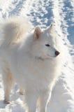 Perro de Samoed Fotos de archivo libres de regalías