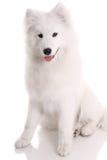 Perro de Samoed Imágenes de archivo libres de regalías