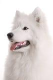 Perro de Samoed Imagenes de archivo