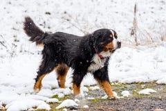Perro de San Bernardo en las primeras nieves del otoño en Bordes de Envalira, Canillo, Andorra imagenes de archivo
