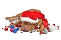 Perro de Santa con las decoraciones de la Navidad fotos de archivo libres de regalías
