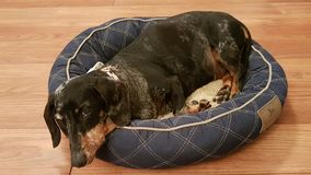 Perro de Saussage (tekel) en la cama de la cesta que mira encima Fotografía de archivo