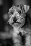 Perro de Schanauzer Fotos de archivo libres de regalías