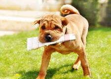 Perro de Shar Pei con los periódicos Fotografía de archivo libre de regalías