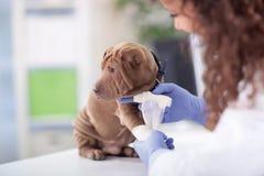 Perro de Shar Pei que consigue el vendaje después de lesión en su pierna por un veteri Fotografía de archivo