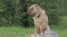 Perro de Sharpei en parque almacen de metraje de vídeo