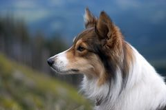 Perro de Sheltie. Fotografía de archivo