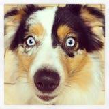 Perro de Shepard del australiano Fotos de archivo