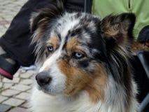 Perro de Sheperd del australiano que se sienta en ciudad fotografía de archivo