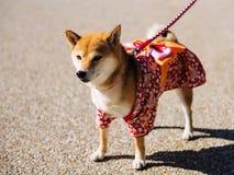 Perro de Shiba Inu con el vestido lindo fotos de archivo