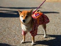 Perro de Shiba Inu con Yukata fotos de archivo