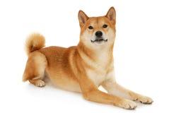 Perro de Shiba Inu del japonés Imágenes de archivo libres de regalías