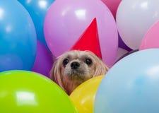 Perro de Shih Tzu en globos Imagen de archivo libre de regalías