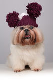 Perro de Shih Tzu en un sombrero que hace punto con los pompoms Fotografía de archivo