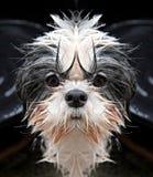 Perro de Shih Tzu que mira fijamente la cámara Fotografía de archivo libre de regalías