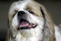 Perro de Shihtzu Fotos de archivo libres de regalías