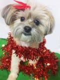 Perro de Shihtzu de la Navidad Fotos de archivo libres de regalías