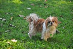Perro de Shizu en césped verde imagenes de archivo
