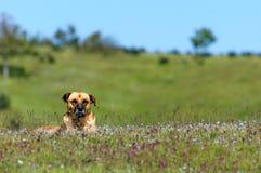 Perro de Sivas Kangal Fotos de archivo