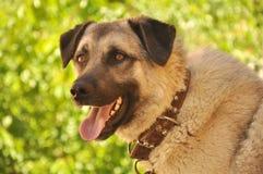 Perro de Sivas Kangal   Foto de archivo