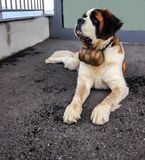 Perro de St Bernard con el barril icónico St Bernard es una raza del perro de trabajo muy grande de las montañas occidentales Eur fotos de archivo
