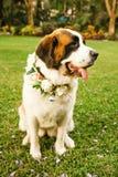 Perro de St Bernard listo para la ceremonia de boda fotografía de archivo