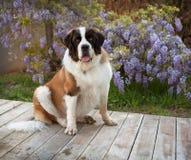 Perro de St Bernard que se sienta en tablones de madera por las flores Foto de archivo libre de regalías