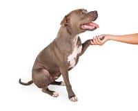 Perro de Staffordshire bull terrier que sacude la mano humana Imagenes de archivo