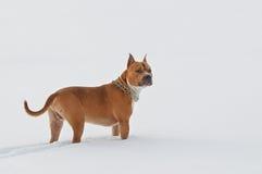 Perro de Staffordshire Terrier americano que miente en invierno fotografía de archivo