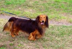 Perro de tejón alemán divertido afuera Fotos de archivo libres de regalías