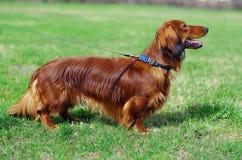Perro de tejón alemán rojo del jengibre Foto de archivo