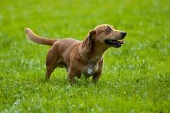 Perro de tejón en verde Imagen de archivo libre de regalías