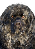 Perro de Terranova 1.5 años Fotografía de archivo libre de regalías