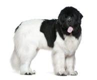 Perro de Terranova, 16 meses, colocándose Imagenes de archivo