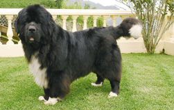 Perro de Terranova Foto de archivo libre de regalías