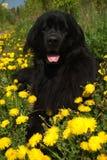 Perro de Terranova Imágenes de archivo libres de regalías