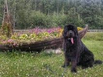 Perro de Terranova Fotos de archivo libres de regalías