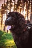 Perro de Terranova fotos de archivo