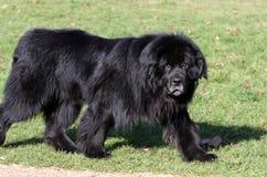 Perro de Terranova Foto de archivo