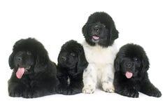 Perro de Terranova de los perritos Imagenes de archivo