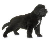 Perro de Terranova del perrito Imagen de archivo