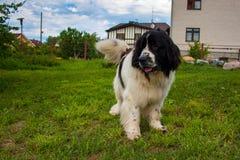 Perro de Terranova en el patio trasero Imagen de archivo