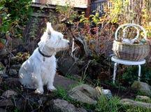 Perro de Terrier blanco de montaña del oeste en jardín del otoño fotos de archivo libres de regalías