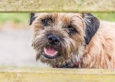 Perro de Terrier de frontera imagenes de archivo