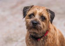 Perro de Terrier de frontera foto de archivo libre de regalías