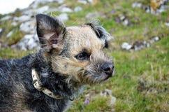 Perro de Terrier de frontera Fotografía de archivo