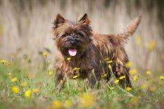 Perro de Terrier de mojón de Brown fotografía de archivo